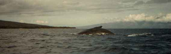 Picture of humpback fin close to the camera